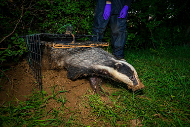 A European badger (Meles meles) leaves a cage trap after being vaccinated against TB. North Somerset, UK. Badger vaccination programmes are being carried out in England as a means of controlling the s...