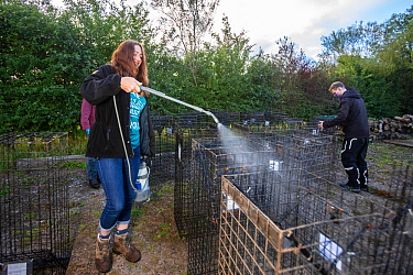 Cages used for trapping European badgers (Meles meles) for vaccination against TB are sprayed with disinfectant. North Somerset, UK. Badger vaccination programmes are being carried out in England as a...