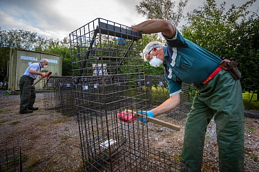 Cages used for trapping European badgers (Meles meles) for vaccination against TB are scrubbed. North Somerset, UK. Badger vaccination programmes are being carried out in England as a means of control...