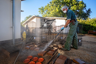 Cages used for trapping European badgers (Meles meles) for vaccination against TB are cleaned. North Somerset, UK. Badger vaccination programmes are being carried out in England as a means of controll...