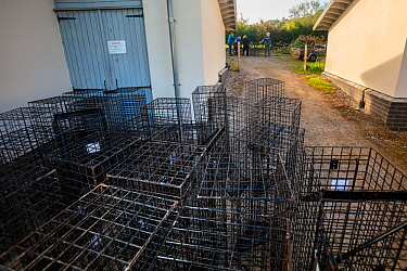 Cages used for trapping European badgers (Meles meles) for vaccination against TB are stacked up to be cleaned. North Somerset, UK. Badger vaccination programmes are being carried out in England as a...