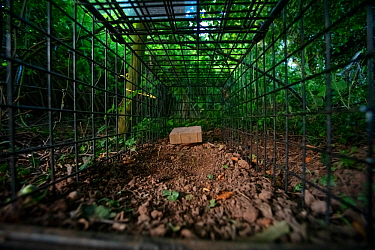 A cage trap set to catch a European badger (Meles meles) as part of a programme to vaccinate badgers against TB in North Somerset, UK. The trap is baited with peanuts. Badger vaccination programmes ar...