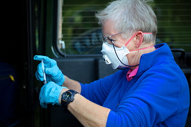 A vaccinator prepares a syringe before vaccinating a European badger (Meles meles) against TB. North Somerset, UK. . Badger vaccination programmes are being carried out in England as a means of contro...