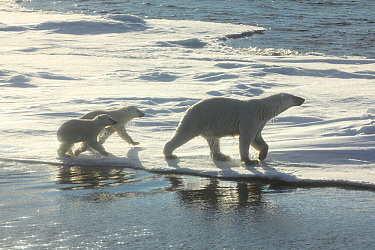 Polar bear (Ursus maritimus) female walking on ice with two cubs, Svalbard, Norway.