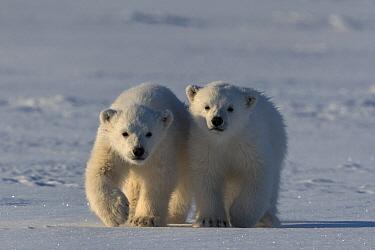 Polar bear (Ursus maritimus) two cubs walking side by side, Svalbard, Norway.