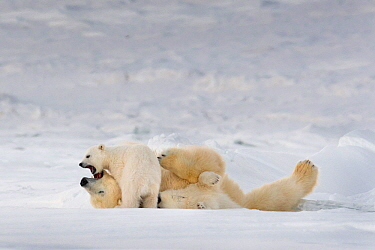 Polar bear (Ursus maritimus) female playing with two cubs, Svalbard, Norway.