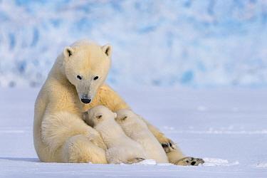 Polar bear (Ursus maritimus) female with two cubs suckling, Svalbard, Norway.