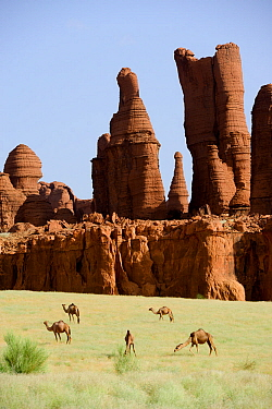 Eroded sandstone rock formations with Dromedary camels (Camelus dromedarius) grazing on new grass after desert rains. Ennedi Natural And Cultural Reserve, UNESCO World Heritage Site, Chad. September 2...