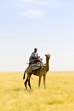 Nomad from the Goran ethnic group mounted on aDromedary camels (Camelus dromedarius) Northern Chad. September 2019.