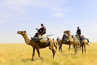 Nomads of the Goran ethnic group mounted on their Dromedary camels (Camelus dromedarius). Northern Chad. September 2019.