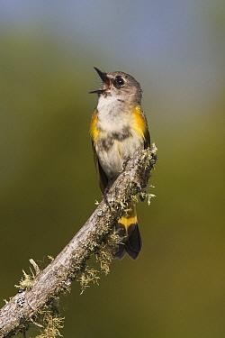 American Redstart (Setophaga ruticilla) male singing, New Hampshire, USA