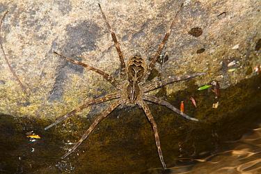 Fishing Spider (Dolomedes scriptus), West Virginia, USA.