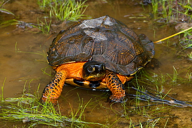 Wood Turtle (Glyptemys insculpta) in puddle, Pennsylvania, USA.