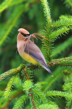 Cedar Waxwing (Bombycilla cedrorum) with nest material in its mouth, Pennsylvania, USA