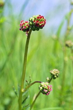 Salad burnet (Poterium sanguisorba). Hampton Court, Richmond Upon Thames, England, UK. May.