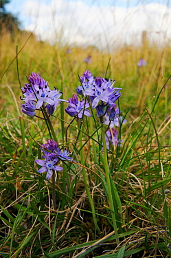 Autumn squill (Scilla autumnalis), a nationally scarce species. South West London, England, UK. August.