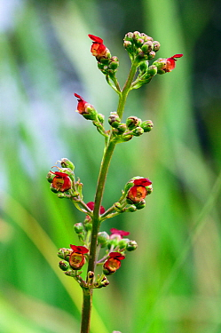 Water figwort (Scrophularia auriculata) growing at edge of ditch. South West London, England, UK. July.