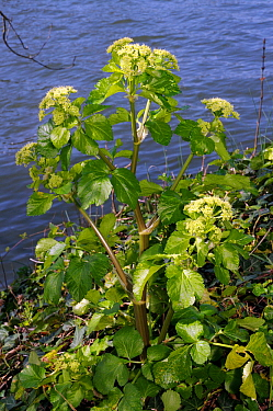 Alexanders (Smyrnium olusatrum) on bank of River Thames, Hampton, Richmond Upon Thames, England, UK. March.