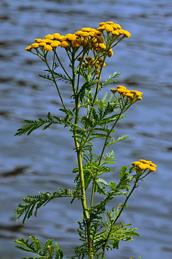 Tansy (Tanacetum vulgare) on bank of River Thames. Hampton Wick, Richmond Upon Thames, England, UK. July.