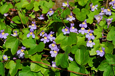 Ivy-leaved toadflax (Cymbalaria muralis). Hampton Court, Richmond Upon Thames, England, UK. May.