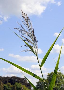 Common reed (Phragmites australis). South West London, England, UK. August.
