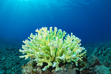 Antler coral (Pocillopora grandis) showing bleaching with pastel green fluorescence. This is believed to result from pigments produced by coral acting as sunscreen in an attempt to survive bleaching....
