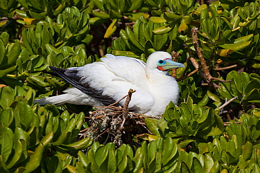 Red-footed booby (Sula sula) nesting in tree, white color morph. Eastern Island, Midway Atoll National Wildlife Refuge, Papahanaumokuakea Marine National Monument, Northwest Hawaiian Islands, USA.