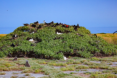 Great frigatebird (Fregata minor palmerstoni) nesting and displaying in tree alongside nesting Red-footed booby (Sula sula). Laysan albatross (Phoebastria immutabilis) chicks in foreground. Eastern Is...