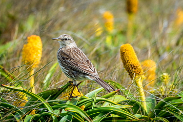 Auckland Island pipit (Anthus novaeseelandiae) perched amongst flowers. Enderby island, Auckland Islands, New Zealand. December.