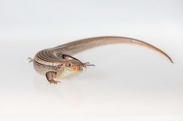 Major skink (Bellatorias frerei) on white background. Captive, rescued from illegal wildlife trade by The Department of Environment Land, Water and Planning during Operation Sheffield. Knoxfield, Melb...