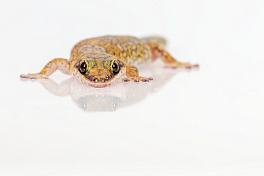 Marbled velvet gecko (Oedura marmorata) on white background. Captive, rescued from illegal wildlife trade by The Department of Environment Land, Water and Planning during Operation Sheffield. Knoxfiel...