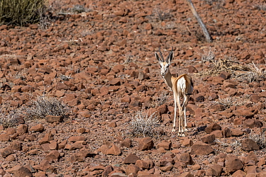 Springbok (Antidorcas marsupialis) standing amongst rocks on hillside. Namibia.