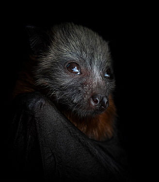 Grey-headed flying-fox (Pteropus poliocephalus) female pup, portrait. Orphaned pup, photo under controlled conditions. Black Rock Animal Shelter, Beaumaris, Melbourne, Victoria, Australia. November. D...