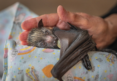 Grey-headed flying-fox (Pteropus poliocephalus), orphaned female pup sucking on a dummy, cradled on 'mamma roll' and in hand of wildlife carer. Black Rock Animal Shelter, Beaumaris, Melbourne, Vic...