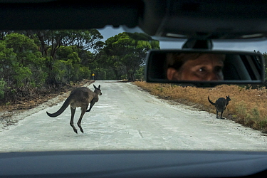 Kangaroo Island kangaroo (Macropus fuliginosus fuliginosus), two jumping on road in front of car, driver visible in rear view mirror. Car was travelling slowly and driver able to brake to avoid collis...