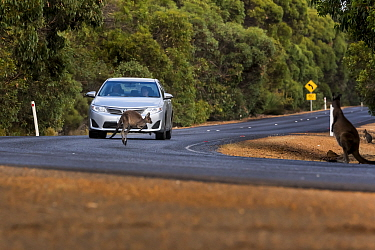 Kangaroo Island kangaroo (Macropus fuliginosus fuliginosus) jumping in front of car rounding bend, a near miss as car travelling relatively slowly, compared to recommended speed limit. Kangaroo Island...