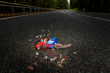 Crimson rosella (Platycercus elegans) dead on road surrounded by feathers, result of vehicle strike. Cape Otway, Victoria, Australia. January 2018.