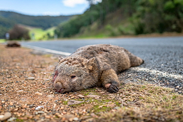 Common wombat, (Vombatus ursinus) dead at roadside, killed by vehicle strike. Dartmouth, Victoria, Australia. May 2018.