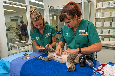 Koala (Phascolarctos cinereus) male under anaesthetic. Veterinary nurse and veterinarian replacing IV catheter and checking health following previous surgery for peritonitis. Temporarily captive prior...