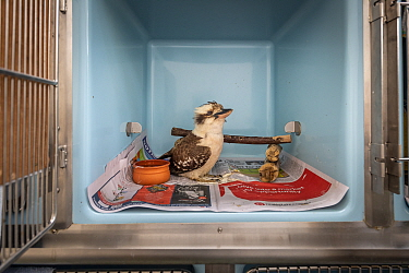 Kookaburra (Dacelo sp) in cage during recovery. Currumbin Wildlife Hospital, Gold Coast, Queensland, Australia. November 2019. Editorial use only.