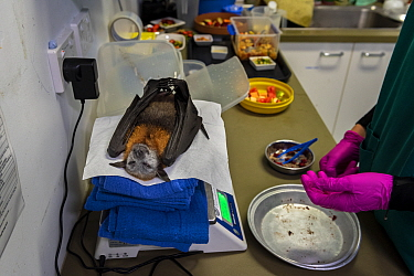 Grey-headed flying-fox (Pteropus poliocephalus) recovering on scales following surgery to amputate toe. Temporarily captive, to be released once recovered. Currumbin Wildlife Hospital, Gold Coast, Que...