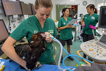 Veterinary nurse administrating anaesthetic to Wedge-tailed eagle (Aquila audax) to monitor progress following wing fracture. Veterinarians in background. Temporarily captive, to be released once full...