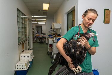 Wedge-tailed eagle (Aquila audax) with wing fracture on way to recovery room following x-ray, carried by veterinary nurse. Temporarily captive, to be released once fully recovered. Currumbin Wildlife...