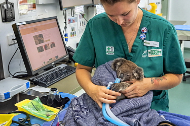 Koala (Phascolarctos cinereus) female aged 12 months undergoing health check by veterinary nurse. Temporarily captive, until old enough to be released. Currumbin Wildlife Hospital, Gold Coast, Queensl...