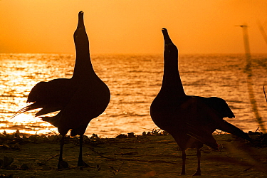 Black-footed albatross (Phoebastria nigripes) pair sky pointing in courtship dance, on coast at sunset. Sand Island, Midway Atoll National Wildlife Refuge, Papahanaumokuakea Marine National Monument,...