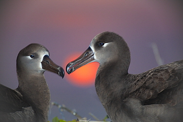Black-footed albatross (Phoebastria nigripes) pair at sunset. Sand Island, Midway Atoll National Wildlife Refuge, Papahanaumokuakea Marine National Monument, Northwest Hawaiian Islands, USA.