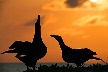 Black-footed albatross (Phoebastria nigripes) pair in courtship dance, one sky pointing. Silhouetted on coast at sunset. Sand Island, Midway Atoll National Wildlife Refuge, Papahanaumokuakea Marine Na...