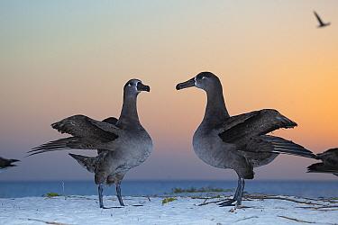 Black-footed albatross (Phoebastria nigripes) pair in courtship dance, on coast at dusk. Sand Island, Midway Atoll National Wildlife Refuge, Papahanaumokuakea Marine National Monument, Northwest Hawai...