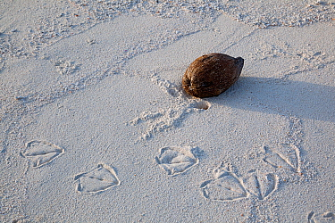 Albatross (Phoebastria sp) footprints on beach next to a Coconut (Cocos nucifera). Sand Island, Midway Atoll National Wildlife Refuge, Papahanaumokuakea Marine National Monument, Northwest Hawaiian Is...