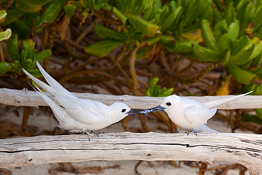 White tern (Gygis alba candida) pair, male presenting female with juvenile flying fish, a nuptial gift. Sand Island, Midway Atoll National Wildlife Refuge, Papahanaumokuakea Marine National Monument,...